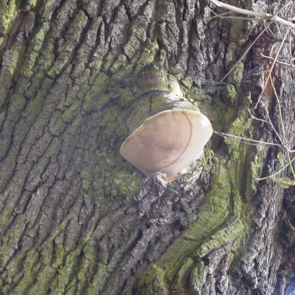 Baumpilz Eichenfeuerschwamm